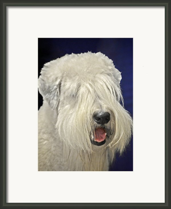 Bearded Collie - The