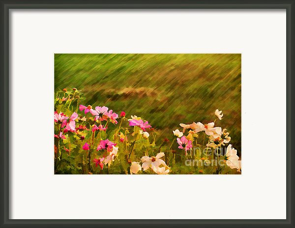 Beautiful Cosmos Framed Print By Darren Fisher