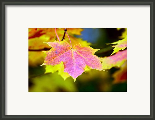 Beautiful Maple Leafs Framed Print By Tommy Hammarsten