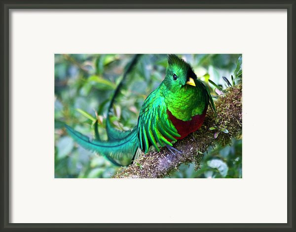 Beautiful Quetzal 4 Framed Print By Heiko Koehrer-wagner