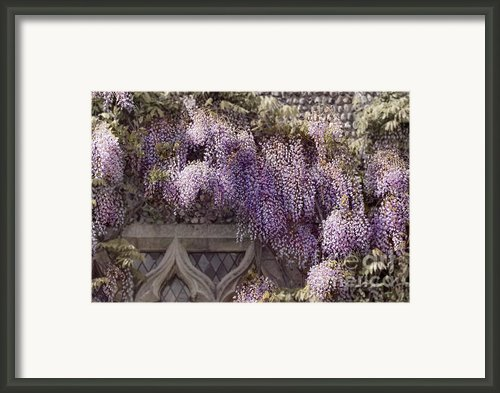 Beautiful Wisteria Framed Print By Svetlana Sewell