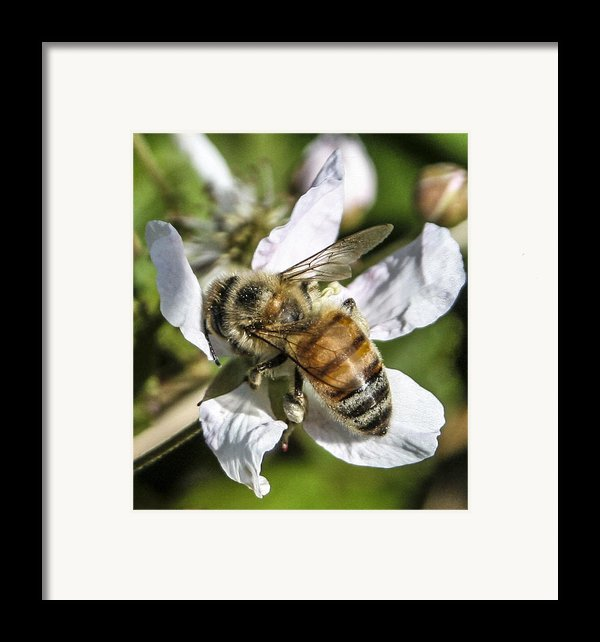 Bee Framed Print By Steven  Taylor