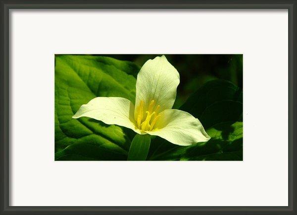 Beuty Is A Three Petaled Flower Framed Print By Jeff  Swan