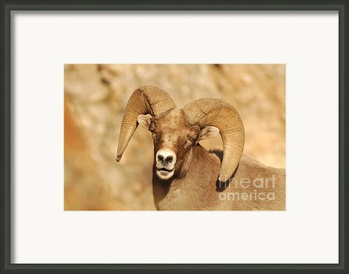 Bighorn Sheep Utah 6 Framed Print By Cody Hoagland