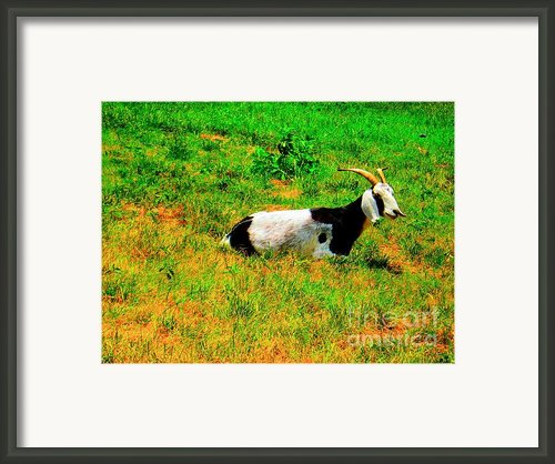 Billy Goat Enjoying The Sun Framed Print By Annie Zeno