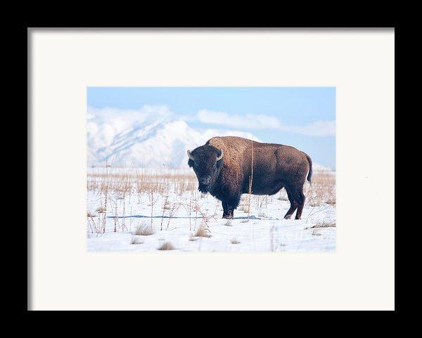 Bison On Antelope Island Utah Framed Print By Carolyn Rauh