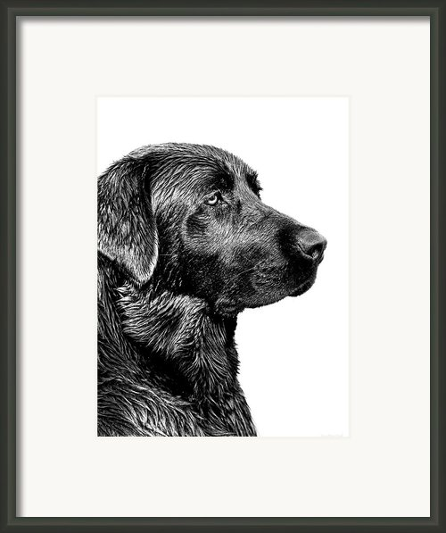 Black Labrador Retriever Dog Monochrome Framed Print By Jennie Marie Schell
