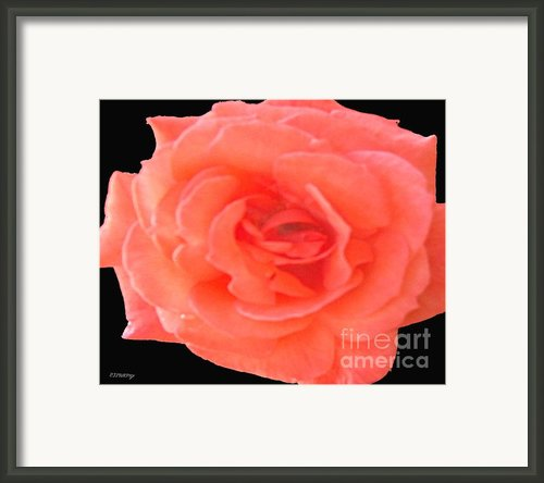 Black Rose Framed Print By Patrick J Murphy