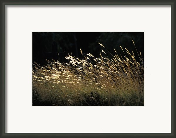 Blades Of Grass In The Sunlight Framed Print By Jim Holmes