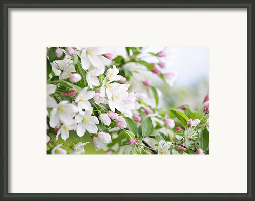 Blooming Apple Tree Framed Print By Elena Elisseeva