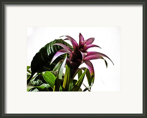 Blooming Bromeliad Framed Print By Christi Kraft