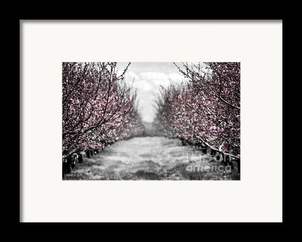 Blooming Peach Orchard Framed Print By Elena Elisseeva
