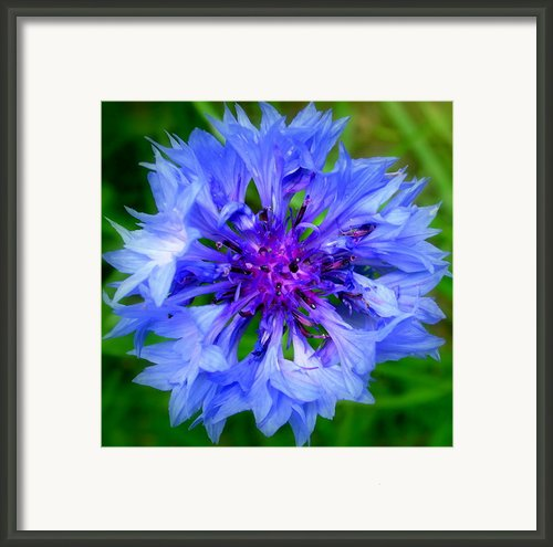 Blue Cornflower Close Up Framed Print By Lynne Dymond