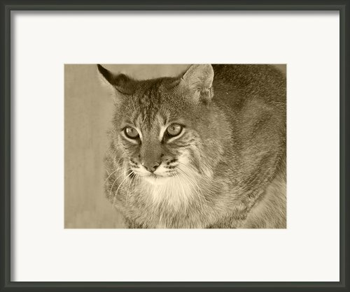 Blue Eyed Bobcat-sepia Framed Print By Jennifer  King