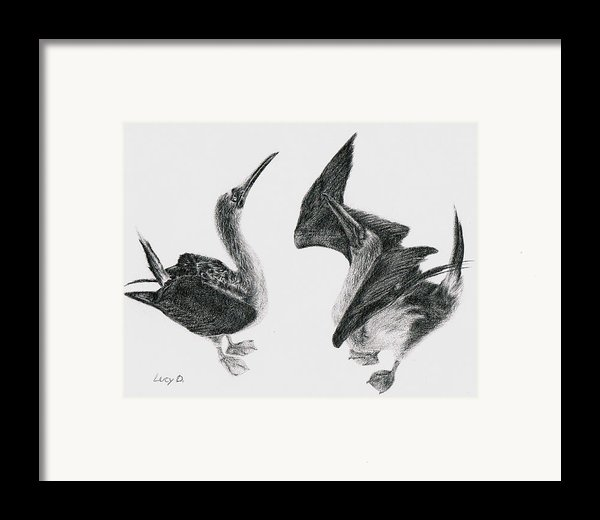 Blue-footed Boobies Framed Print By Lucy D