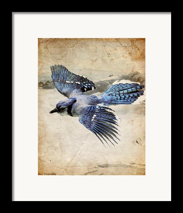 Blue Jay In Flight Framed Print By Ray Downing