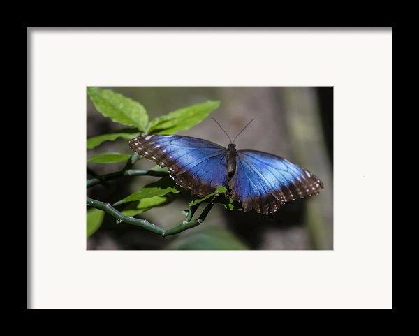 Blue Morph Butterfly Framed Print By Sven Brogren