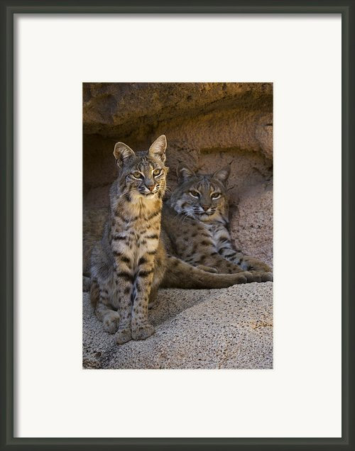 Bobcat 8 Framed Print By Arterra Picture Library
