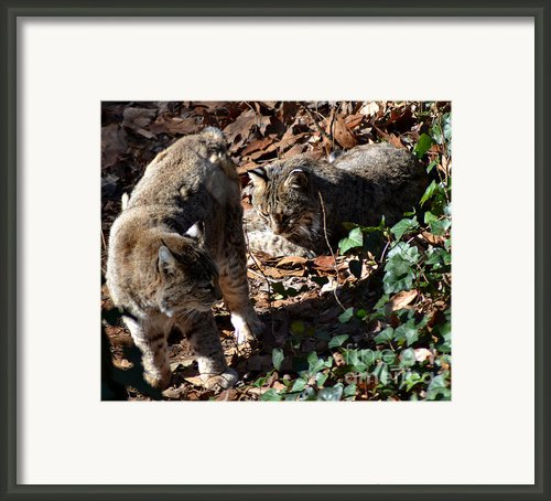 Bobcat Couple Framed Print By Eva Thomas