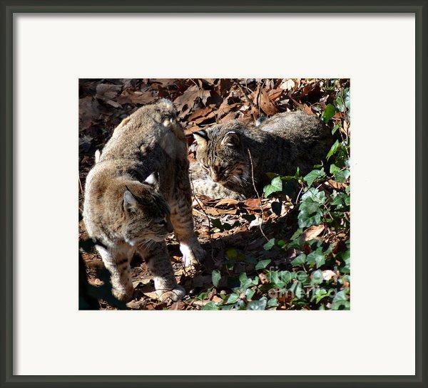 Bobcat Couple Framed Print By Eva Thomas