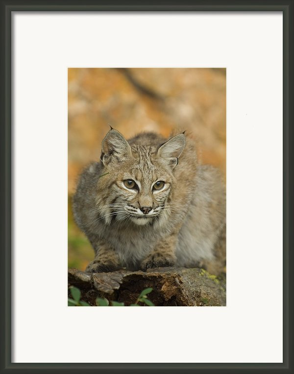 Bobcat Felis Rufus Framed Print By Grambo Photography And Design Inc.