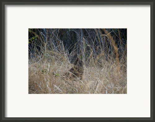 Bobcat Kitten In The Underbrush Framed Print By Scott Lenhart