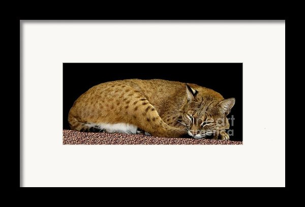 Bobcat Framed Print By Rose Santuci-sofranko