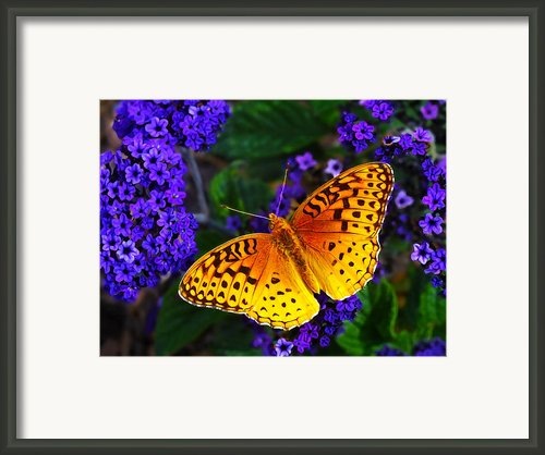 Boothbay Butterfly Framed Print By Abeautifulsky  Photography