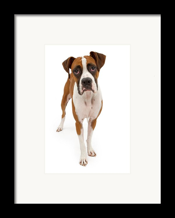 Boxer Dog Isolated On White Framed Print By Susan  Schmitz