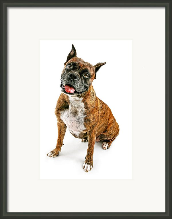 Boxer Dog Looking Forward Framed Print By Susan  Schmitz