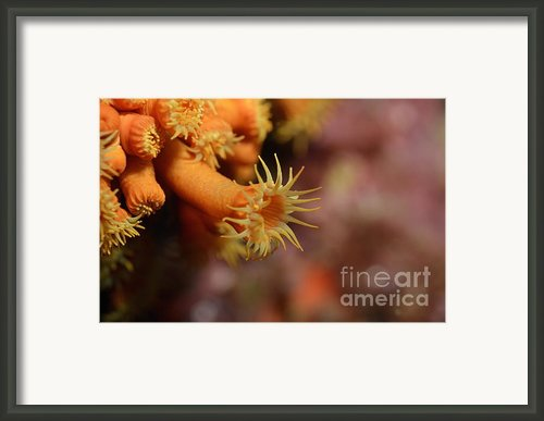 Brightly Colored Yellow Encrusting Anemone Framed Print By Sami Sarkis