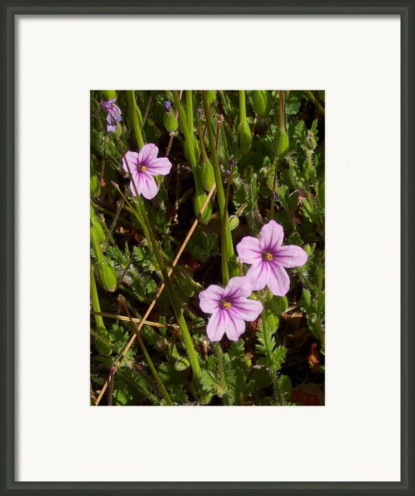 Broadleaf Filaree In Park Sierra-ca Framed Print By Ruth Hager