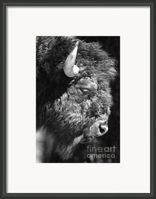 Buffalo Portrait Framed Print By Robert Frederick