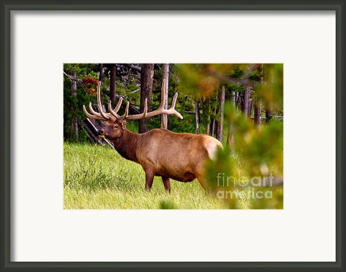 Bull Elk Framed Print By Bill Gallagher