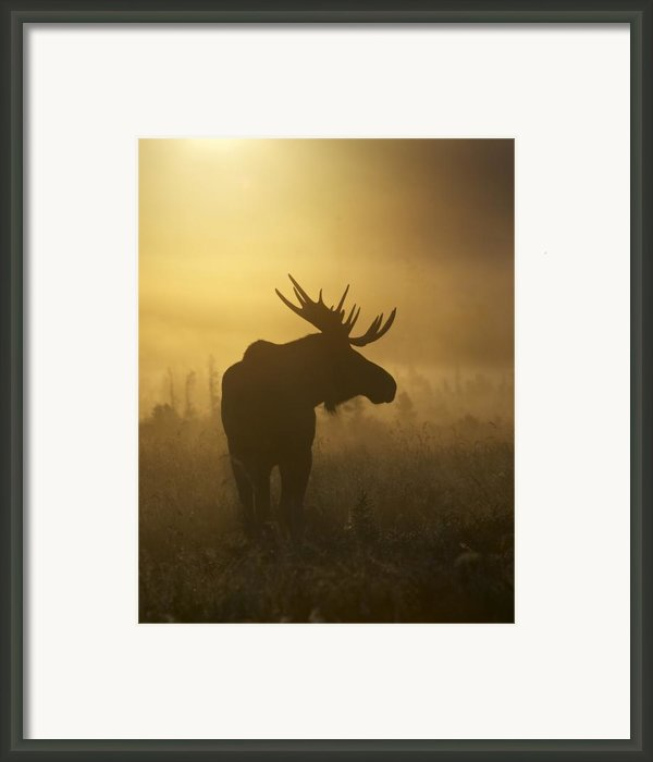 Bull Moose In Fog Framed Print By Tim Grams