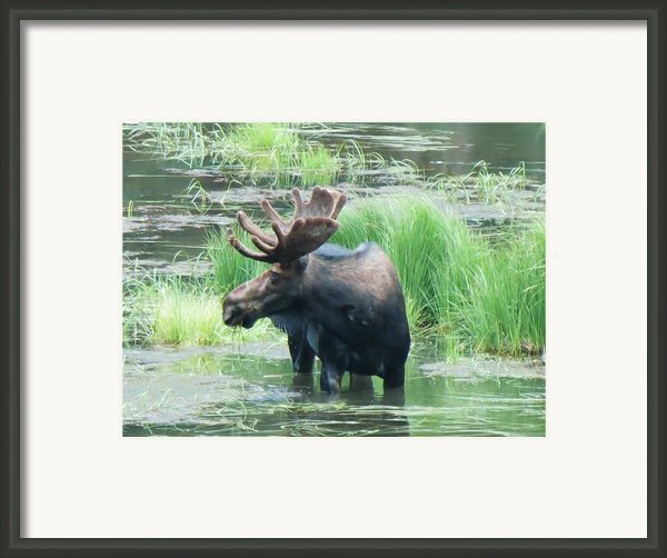 Bull Moose In The Wild Framed Print By Feva  Fotos
