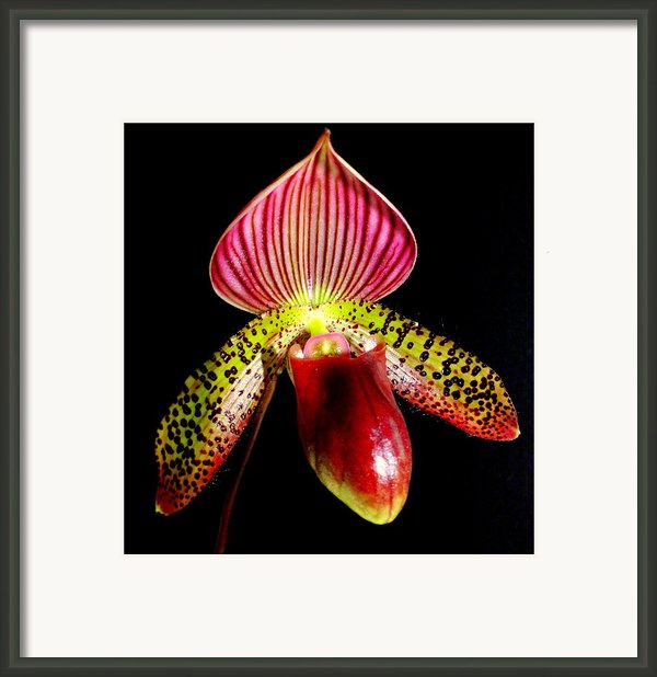 Burgundy Lady Slipper Framed Print By Karen Wiles