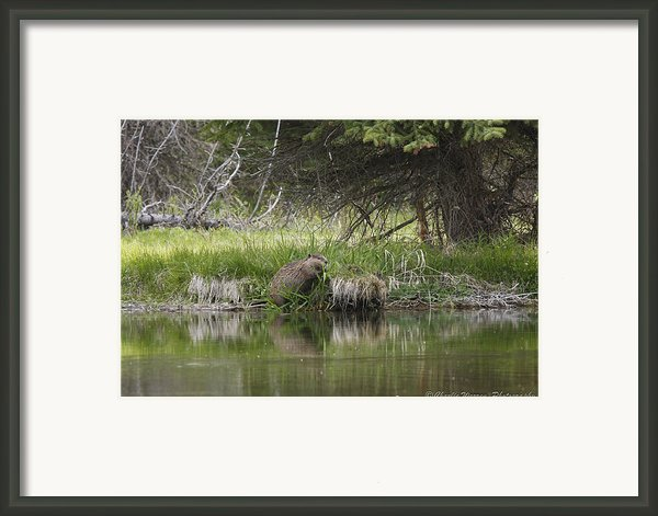 Busy Beaver Framed Print By Charles Warren