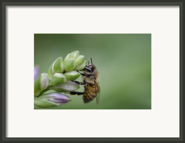 Busy Bee Framed Print By Andrea Silies
