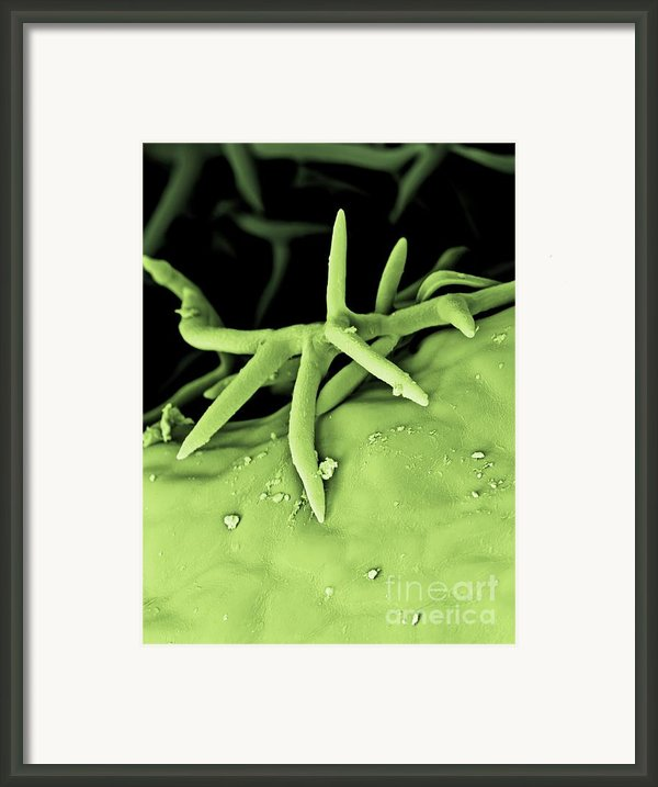 C0026059 - Rosemary Leaf Framed Print By Spl