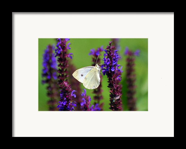 Cabbage White Butterfly Framed Print By Christina Rollo