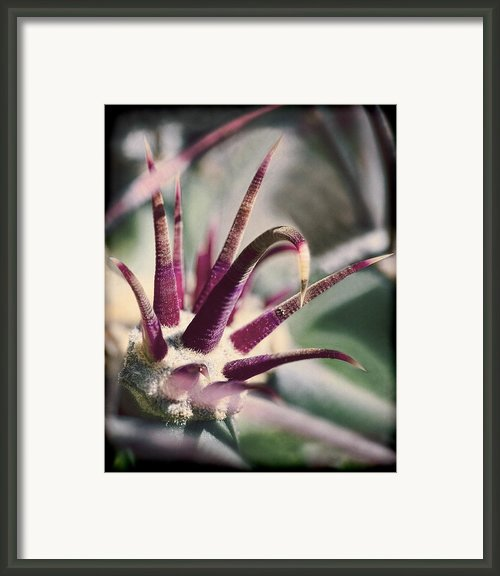 Cactus Crown Framed Print By Kelley King