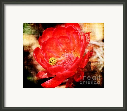 Cactus Flowers 3 Framed Print By Julie Lueders