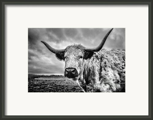 Cadzow White Cow Framed Print By John Farnan