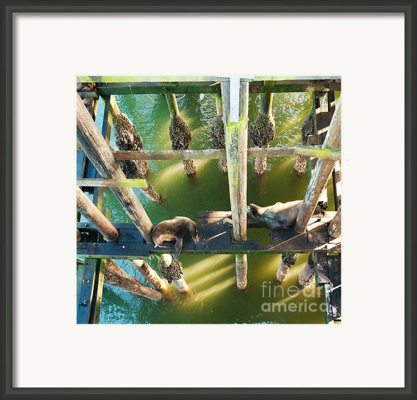 California Sealions Under The Santa Cruz Pier Framed Print By Artist And Photographer Laura Wrede