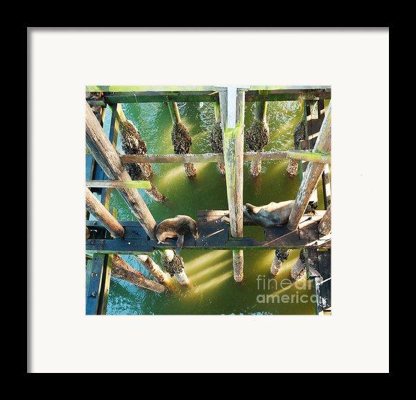 California Sealions Under The Santa Cruz Pier Framed Print By Artist And Photographer Laura Wrede