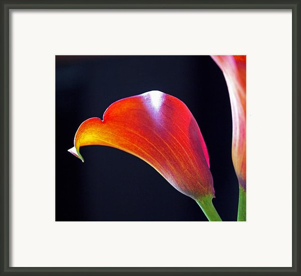Calla Colors And Curves Framed Print By Rona Black