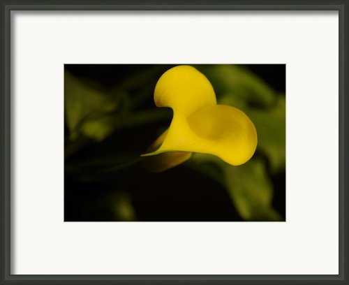Calla Lily Yellow Iii Framed Print By Ron White