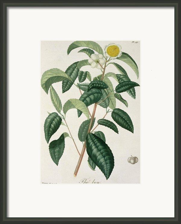 Camellia Thea Framed Print By Lfj Hoquart