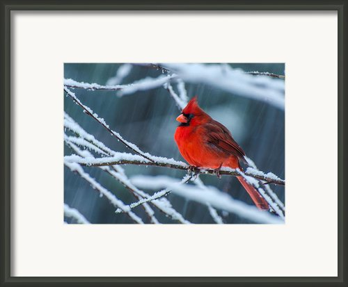 Cardinal In A Storm  Framed Print By John Harding Photography